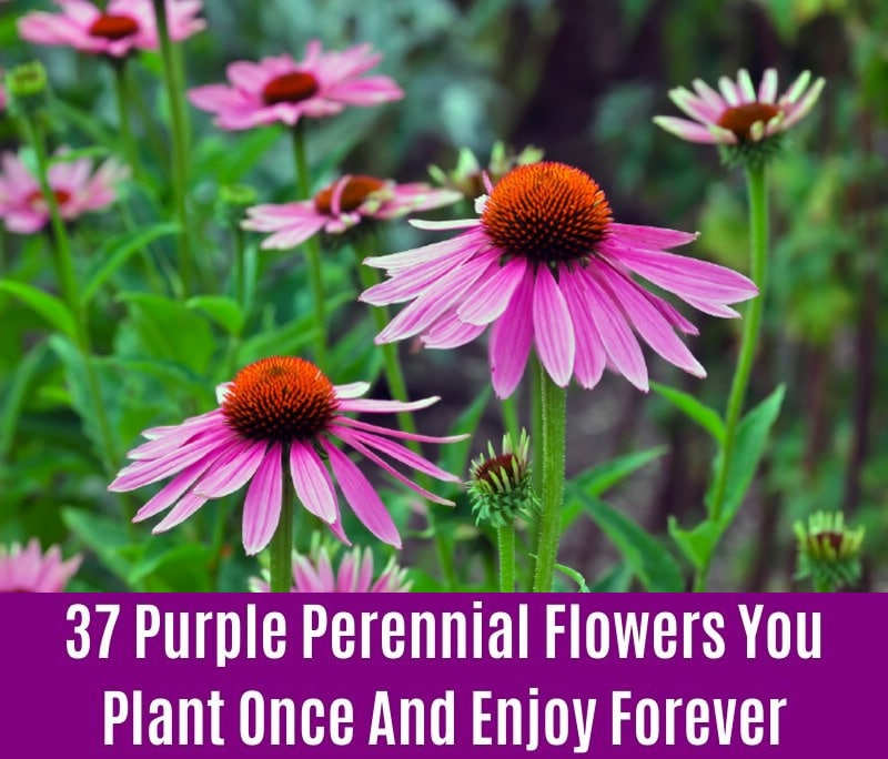 Coneflower - Purple Perennial Flower