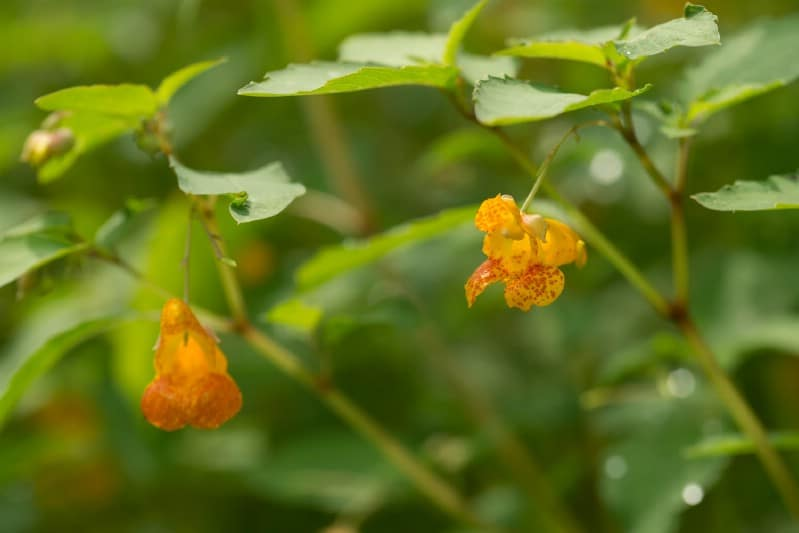 Jewelweed - Edible weeds and wildflowers