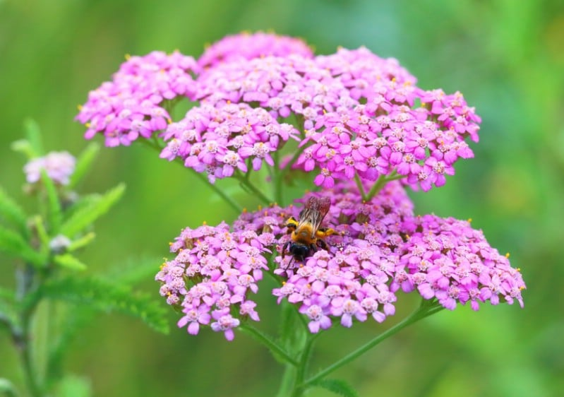 Yarrow - pink perennial flower