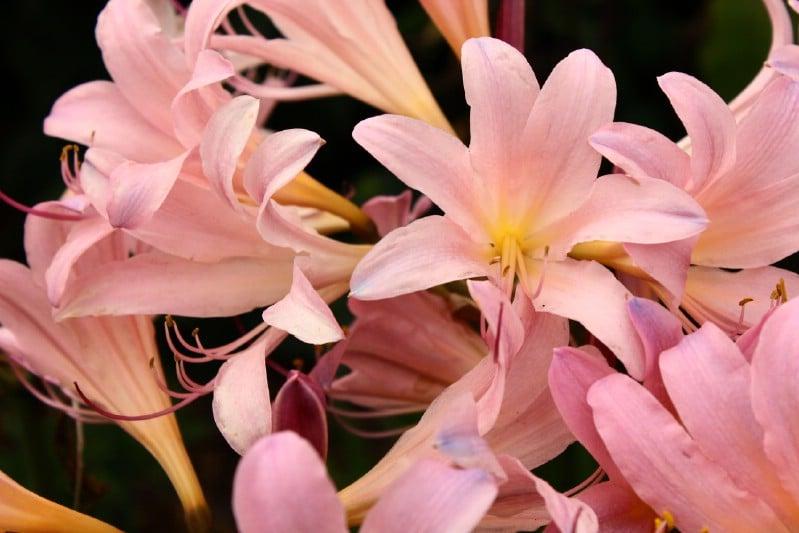 Amarcrinum - pink perennial flower