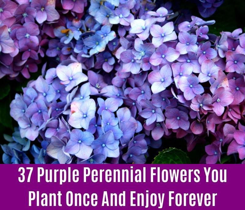 Hydrangea - Purple Perennial Flower