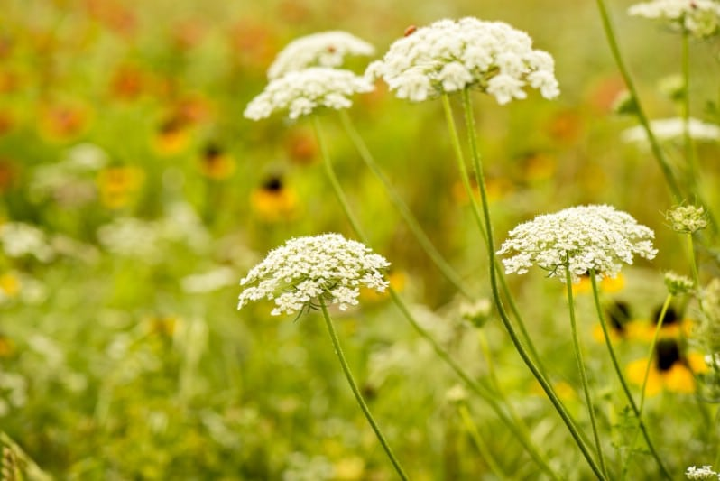Queen Anne's Lace - Edible weeds and wildflowers