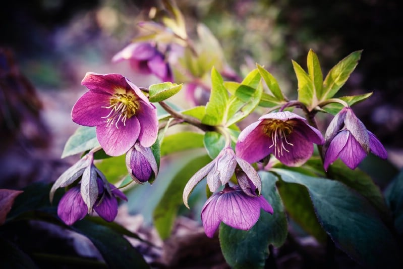 Lenten Rose - perennial flower that blooms all season