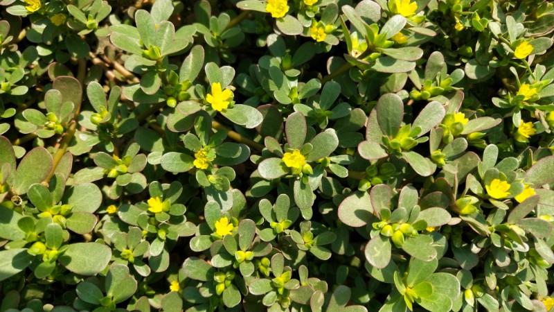 Purslane - Edible weeds and wildflowers