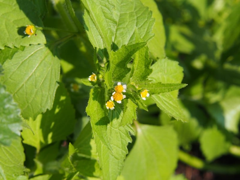 Quickweed - Edible weeds and wildflowers