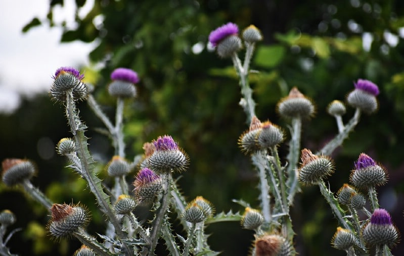 Thistles - Edible weeds and wildflowers
