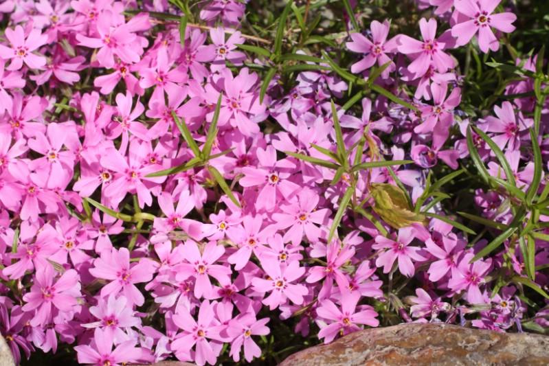 Creeping Phlox - pink perennial flower
