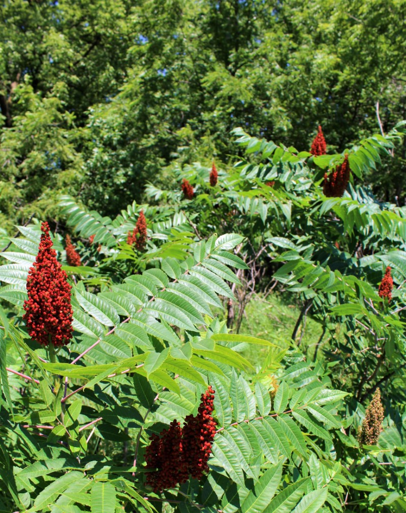Sumac - Edible weeds and wildflowers