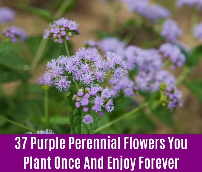 Mistflower - Purple Perennial Flower