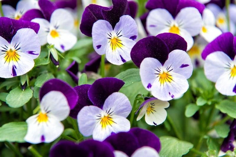Heartsease - Edible weeds and wildflowers