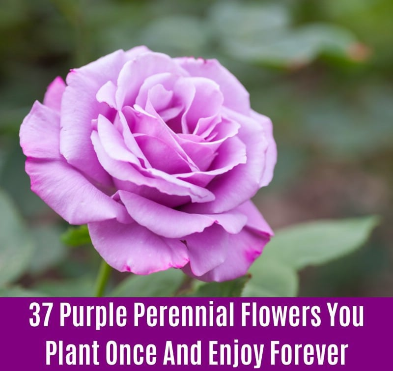 Roses - Purple Perennial Flower