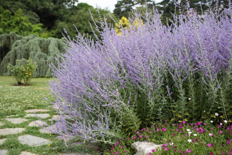 Russian Sage - perennial flower that blooms all season