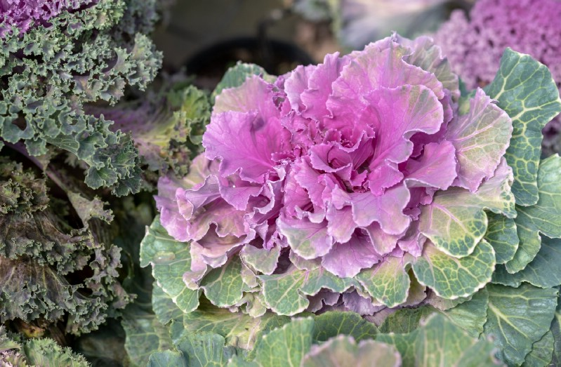 Wild Brassica - Edible weeds and wildflowers