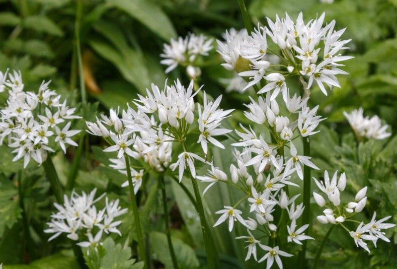Wild Garlic - Edible weeds and wildflowers