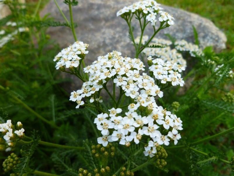 Yarrow - Edible weeds and wildflowers
