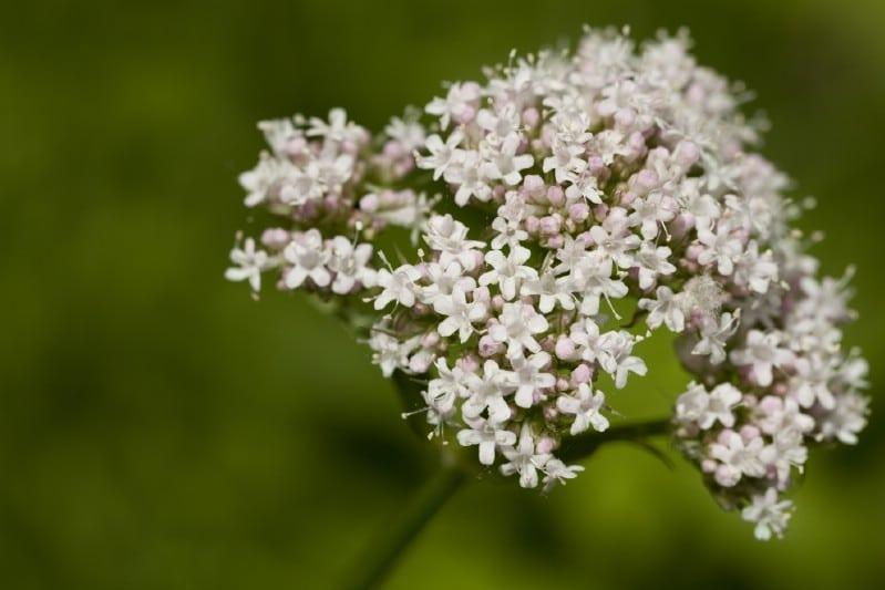Valerian - Edible weeds and wildflowers