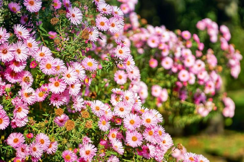 Aster - pink perennial flower