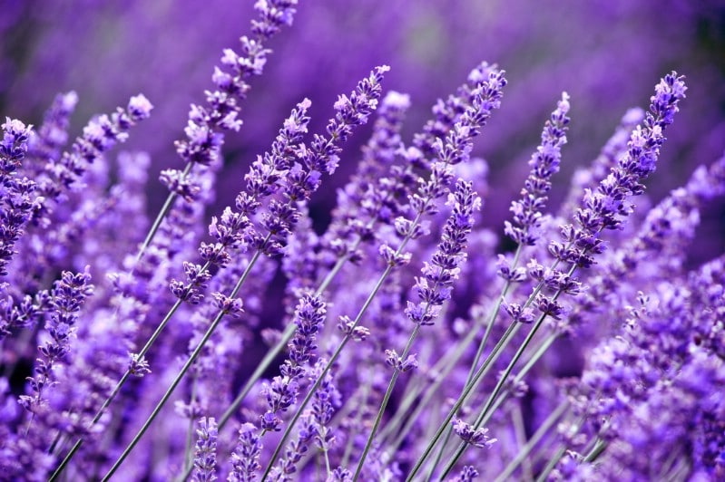 Lavender - perennial flower that blooms all season
