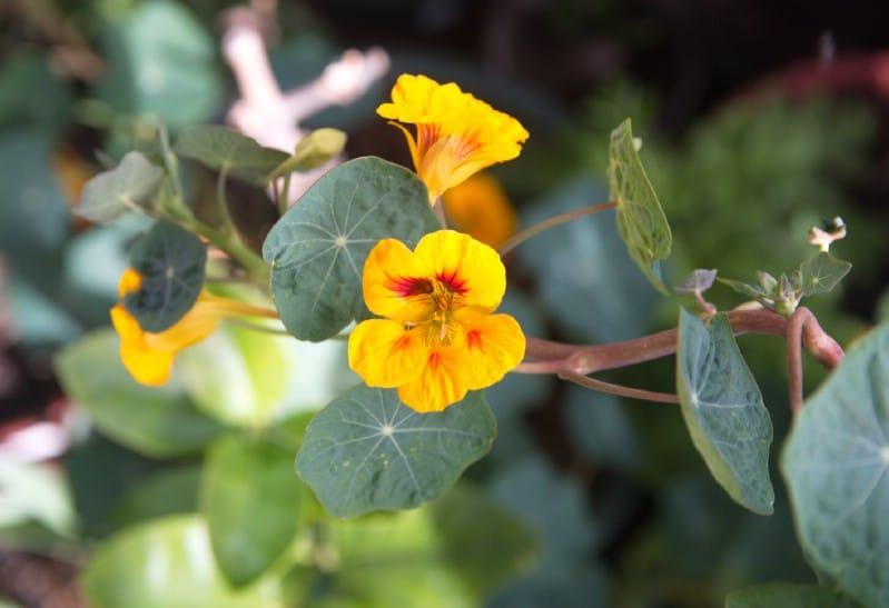 Nasturtiums - Edible weeds and wildflowers