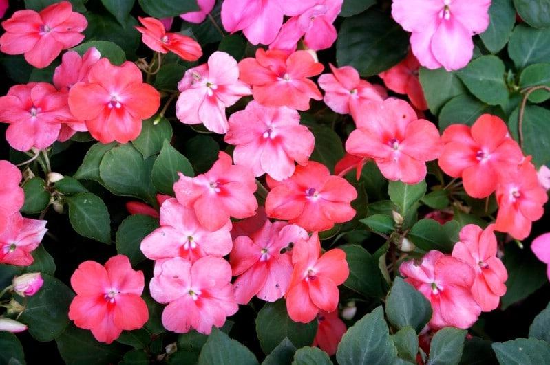 Impatiens - pink perennial flower