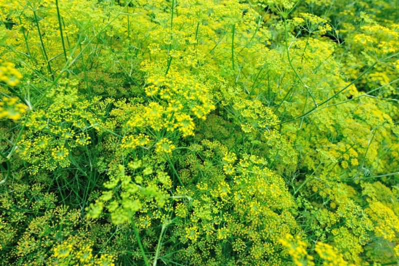 Wild fennel - Edible weeds and wildflowers