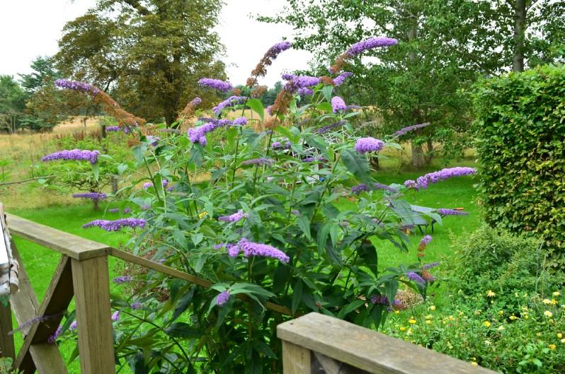 Butterfly Bush - perennial flower that blooms all season