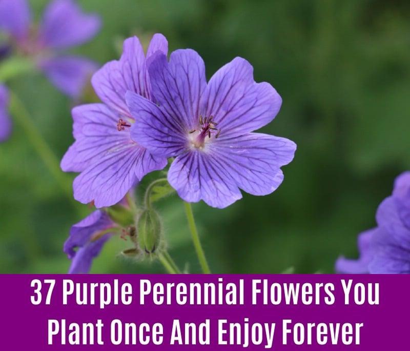 Hardy Geranium - Purple Perennial Flower