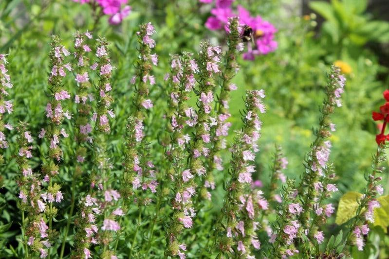 Hyssop - pink perennial flower