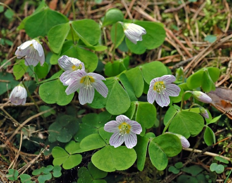Wood Sorrel - Edible weeds and wildflowers
