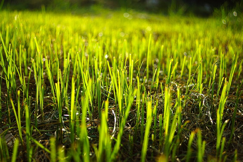 Engrais à pelouse - Utilisations de jardinage pour le marc de café