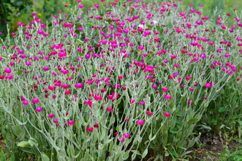 Lychnis Coronaria 'Gardeners World' - pink perennial flower