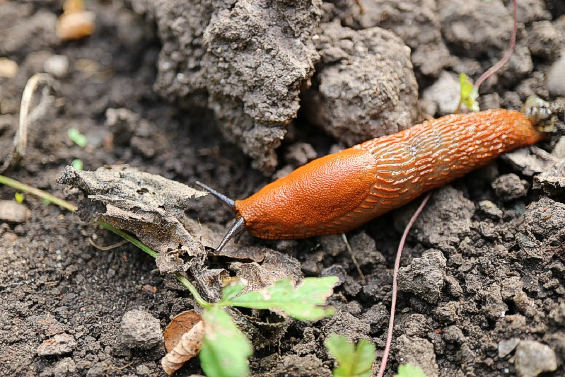 Repel Snails and Slugs - Gardening uses for coffee grounds