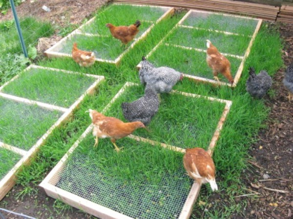 Grazing frames with chickens