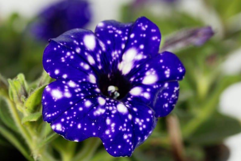 Single flower of a night sky petunia bush