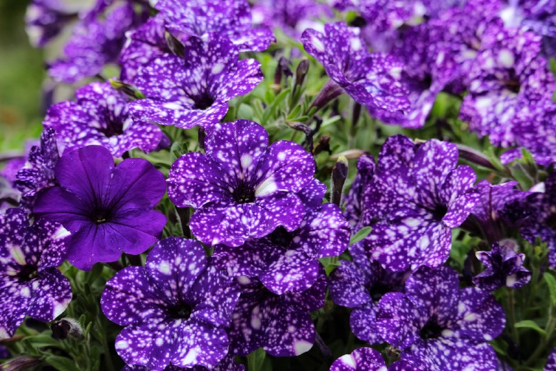 Violet night sky petunia bush.