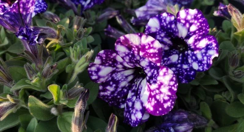 Close up photo of two purple night sky petunia flowers.