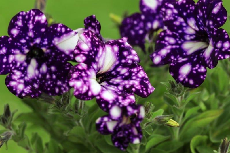 A bunch of purple night sky petunia flowers.