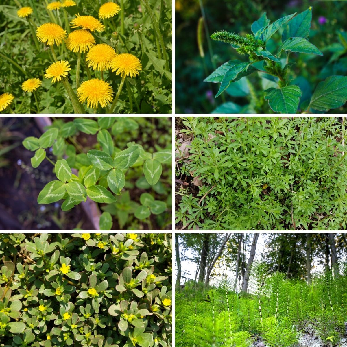 Collage photo of several edible wildflowers and weeds from the article collection