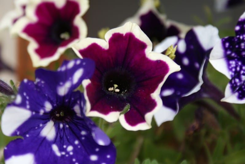 Night sky petunia and other interesting petunias flowering.