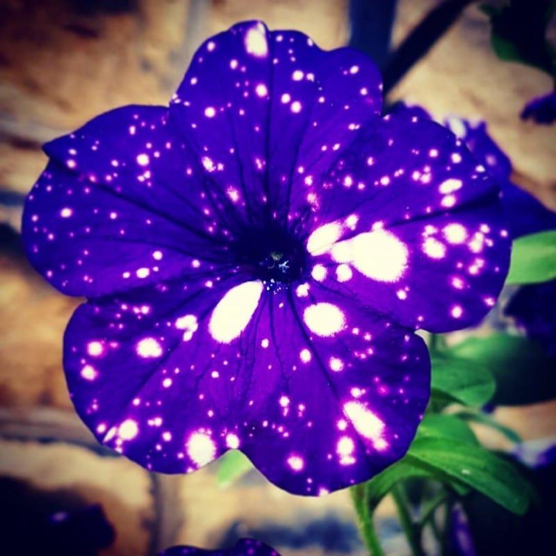 Beautiful single night sky petunia flower.