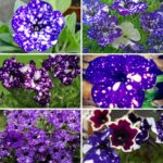 Collage photo featuring close up night sky petunias.