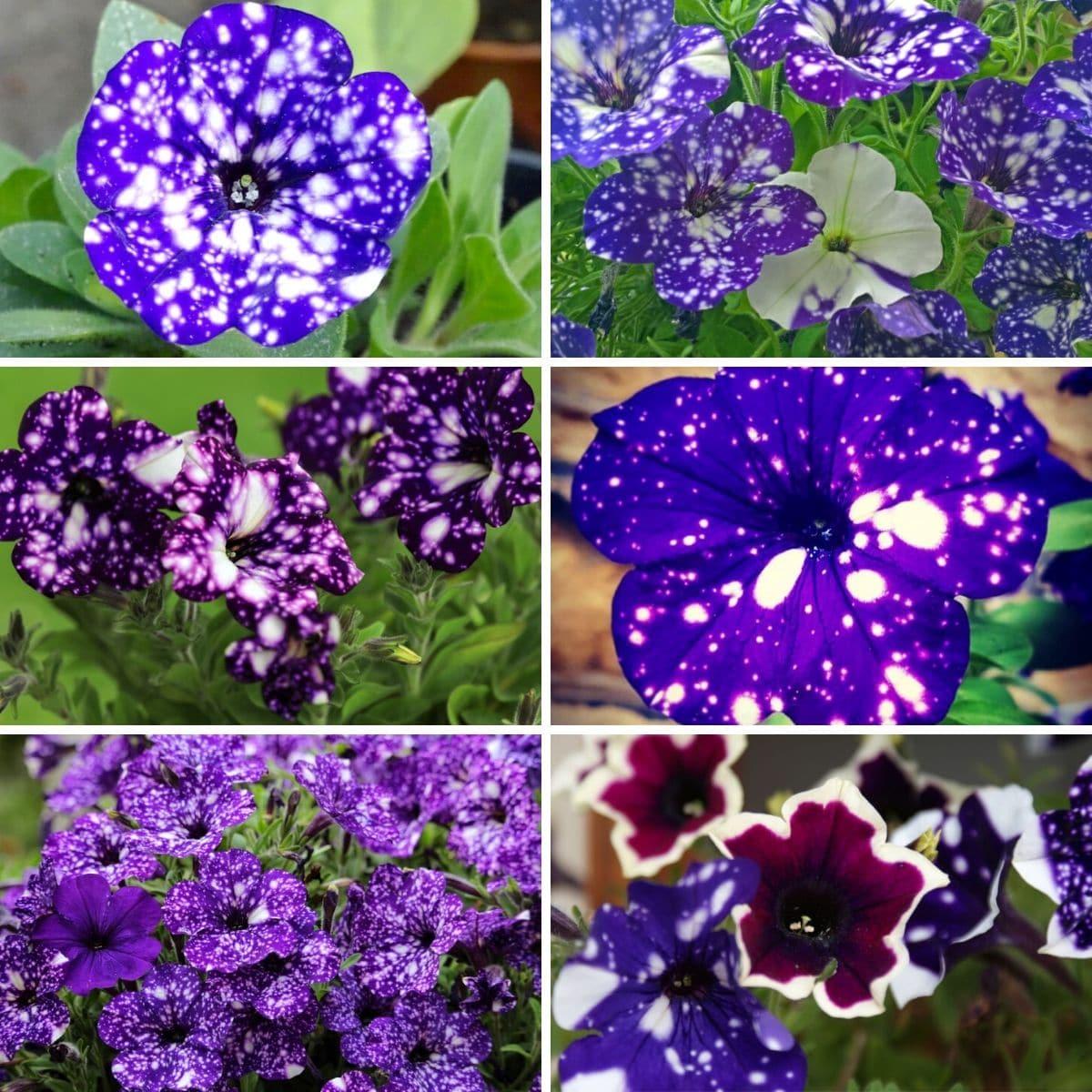 Collage photo featuring close up night sky petunias.