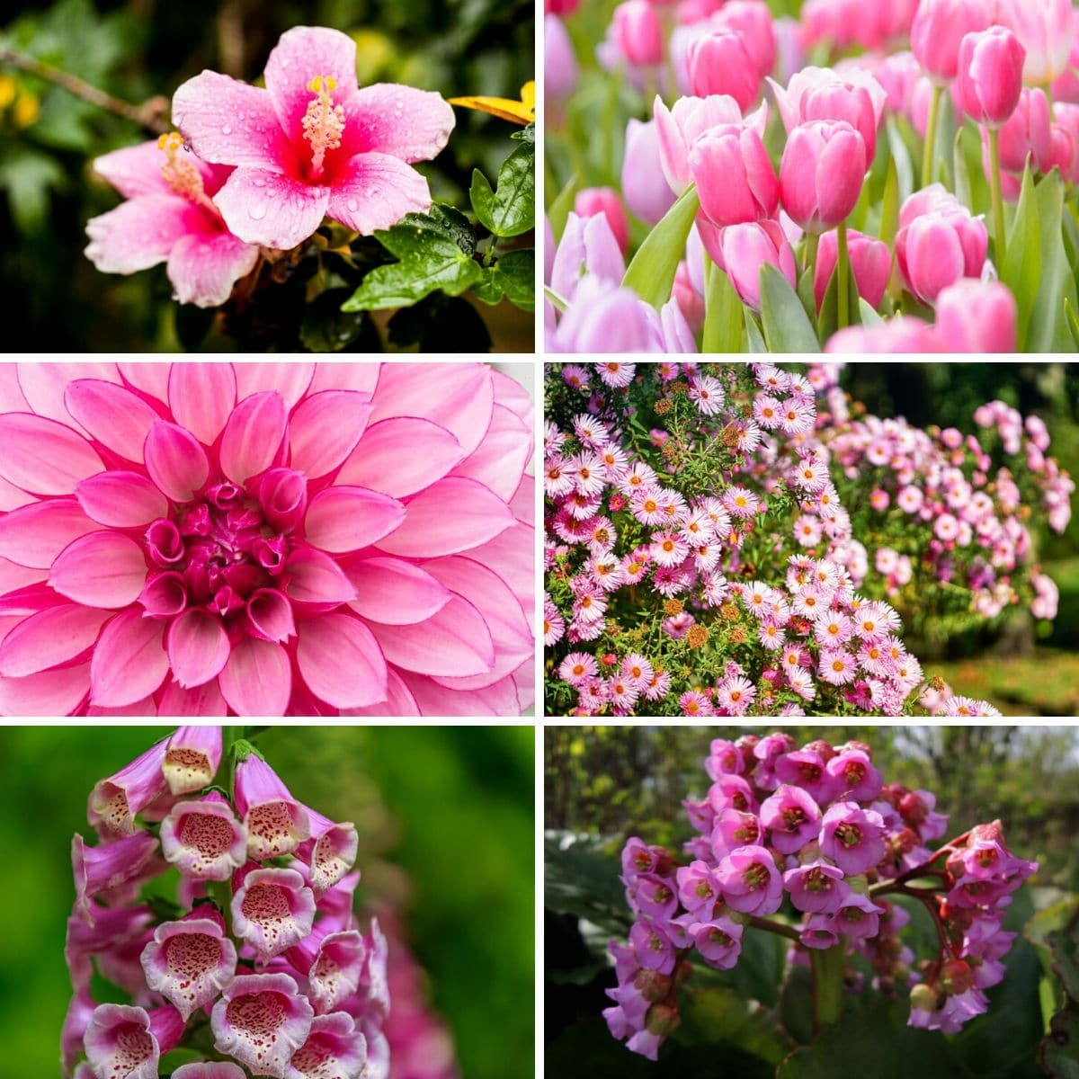 Collage photo of six pink perennial flowers from the article