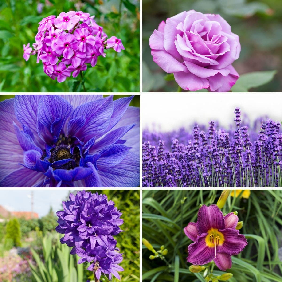 Photo collage featuring various purple perennials from the post.