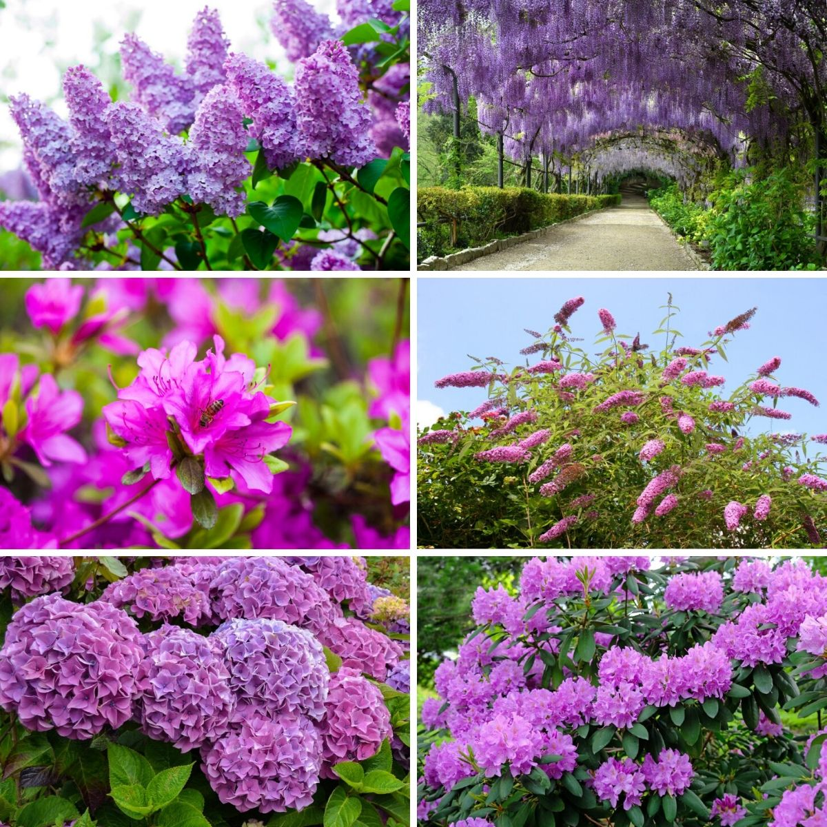 Collage photo featuring six purple shrubs from the collection