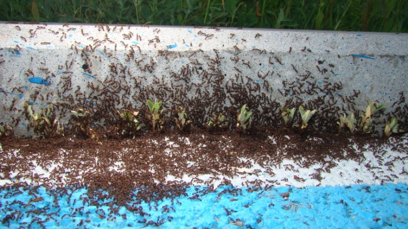 Ant colony next to garden edging