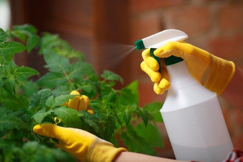 Treating tomato plants with Epsom salt spray.