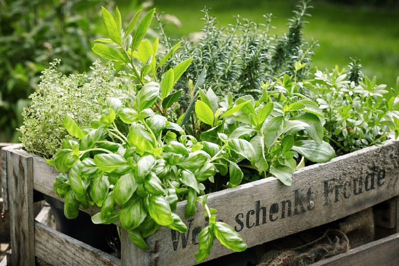Herbs to intercrop with tomato plants.