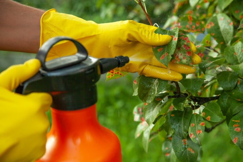 Using baking soda fungicide in the garden