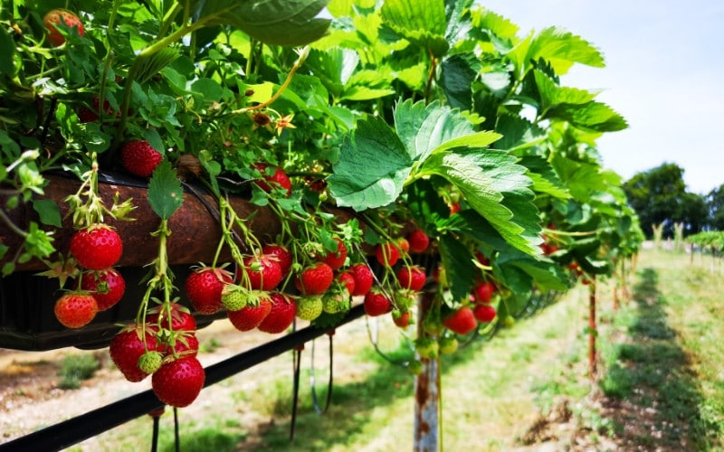 Strawberry - Berry bushes to grow in your garden